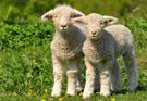 lambs-for-newsletter.jpg
